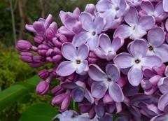 Lilac II