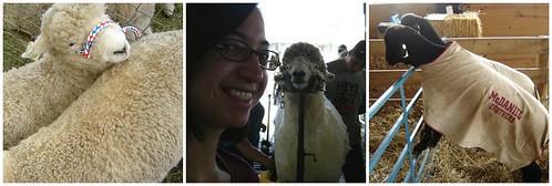 sheep @ mdsw