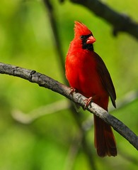 King of the Cardinals, Part Two of Two (ozoni11) Tags: trees tree male green bird nature birds animal animals nikon cardinal bokeh maryland d200 cardinals cardinaliscardinalis northerncardinal naturesfinest supershot featheryfriday animaladdiction specanimal diamondclassphotographer flickrdiamond genuscardinalis