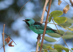 Macho de Sa-azul, Sa, Sa-bico-fino ou Sa-bicudo -  (Dacnis cayana) - A male of a Blue Dacnis or Turquoise Honeycreeper 12 08-05-07 024 - 9 (Flvio Cruvinel Brando) Tags: blue brazil naturaleza color detail male bird nature colors birds animal animals braslia azul brasil cores out ilovenature colorful close bokeh turquoise lovely1 details natureza passarinho pssaro aves ave brazilian pajaro macho animais cor pssaros brasileiro flvio detalhe feathery detalhes colorida colorido coloridas viridis bluedacnis dacniscayana birdsoftheworld featheryfriday bicudo honeycreeper birdphoto sa animaladdiction flviocruvinelbrando saazul sara cayana bicofino dacnis avianexcellence maleofabluedacnis sabicofino sabicudo turquoisehoneycreeper naturewatcher