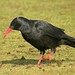 Red-billed Chough - Photo (c) Paul Roberts, some rights reserved (CC BY-NC)
