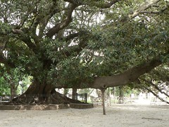 Giant tree in Plaza San Martin, Buenos Aires, Argentina