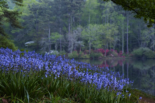 bluebells at twilight