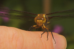 """Broad-Bodied Chaser (Libellula depres(4) • <a style=""""font-size:0.8em;"""" href=""""http://www.flickr.com/photos/57024565@N00/502024639/"""" target=""""_blank"""">View on Flickr</a>"""