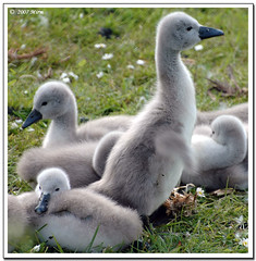 Finally, here are the newborn cygnets!!! (**Mirm**) Tags: holland swan nikon bravo d70s chicks soe volendam 2007 zwaan flickrsbest specanimal abigfave isawyoufirst flickrdiamond 1132vc56