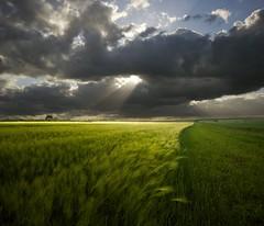 Dramatic Sky (Mute*) Tags: summer england sun field clouds landscape corn dramatic superfantastique sigma1020mm spittinshells vertorama