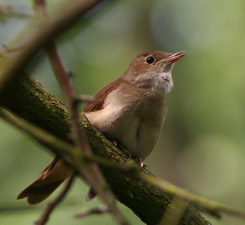 Nightingale (Luscinia megarhynchos), male