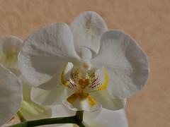 Orchidea (Phalaenopsis) - by martino.pizzol