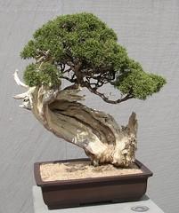 California Juniper Bonsai (I Think) (Cowtools) Tags: washingtondc spring bonsai nationalarboretum may2007