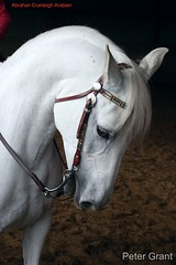ARAB HORSE CRANLEIGH ARABIAN LINES (pg tips2) Tags: uk portrait england horses horse white mike beautiful leather closeup silver grey interesting gray domestic pony devon arab views western plus ponies arabian arabianhorse favourite majestic graceful bit westend stud whitehorse equine leathers tack pollard bridle greyhorse theswan arabs cranleigh arabians 12000 westen arabianbeauty gelding reins forelock equines arabianhorses 16000 reining grayhorse abrahan arabhorse westernriding cranleighstud arabianstud arabhorses westendfarm whitearabhorse curbbit arabhorsesociety onthebit westernbridle horsereins  grayarabhorse whitearabianhorse greyarabianhorse grayarabianhorse greyarabhorse beautifularabhorse headcarriage cranleighoriginals