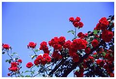 Rose 070520 #14