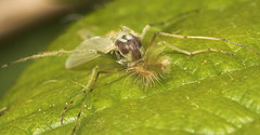 "Non-Biting Midge (Chironomus luridus)(1) • <a style=""font-size:0.8em;"" href=""http://www.flickr.com/photos/57024565@N00/509395618/"" target=""_blank"">View on Flickr</a>"