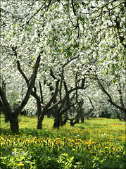 Appletrees in Kolomenskoe