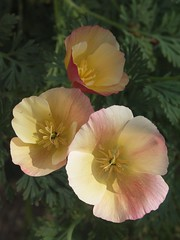 Eschscholzia (Badly Drawn Dad) Tags: london sunshine garden may californianpoppy eschscholziacalifornica carmineking hardyannual