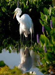 Spring Finery (graphicgreg) Tags: nature birds wildlife wetlands greategret shorebirds ardeaalba naturesfinest wadingbirds featheryfriday marshbirds abigfave anawesomeshot impressedbeauty ultimateshot avianexcellence brisbanebirds wakodohatchee