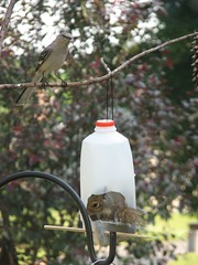 mockingbird and squirrel