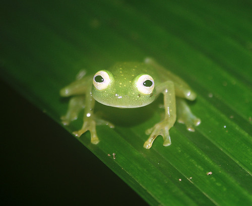 glass frogs. Glass frog (Hyalinobatrachium