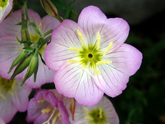 #4528 evening primrose () or showy evening primrose () (Nemo's great uncle) Tags: flower tokyo evening flora   oenothera primrose oenotheraspeciosa eveningprimrose showy stricta speciosa  setagayaku oenotherastricta yga showyeveningprimrose tky