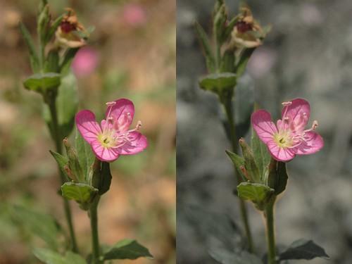 Floresita Rosa Comparada