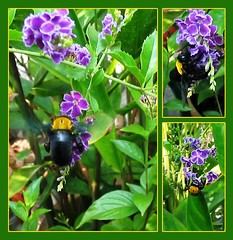 A collage of the Black Bee feasting on the Pigeon Berry/Duranta Repens 'Sweet Memories' flowers