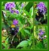 Bluish-black bee