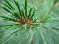 pine after the rain