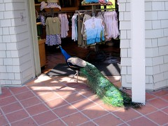 Peacock Going Shopping