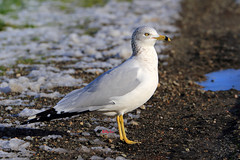 Ring-billed Gull - 017-089A0367-R (Billyliu2012) Tags: billyliu2012 billy liu ringbilledgull gull