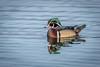 Wood Duck (halladaybill) Tags: sanjoaquinwildlifesanctuary woodduck irvine california unitedstates us dabbler seaandsageaudubonsociety orangecounty floater nikkor80400zoomlens nikond500 nikondslr