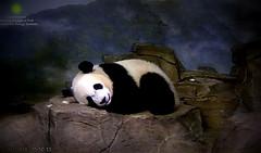 Little Bei Bear  ./sx71.png (heights.18145) Tags: smithsoniansnationalzoo beibei meixiang corner panda bear pandabear cuteanimals bearcubs motheranimals ccncby