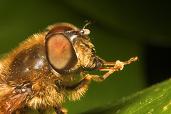 """Drone-Fly (Eristalis tenax)(1) • <a style=""""font-size:0.8em;"""" href=""""http://www.flickr.com/photos/57024565@N00/448143149/"""" target=""""_blank"""">View on Flickr</a>"""