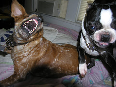 sweet.jpg (blogjam_dot_org) Tags: dog cute bostonterrier mutt texas hellokitty teeth houston fangs hawthorne dogfight rescued astrud bugeyed dunlavy halfbeagle 77006 misterpeabody   halfspaniel
