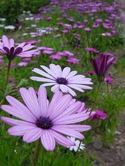 campo violeta