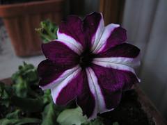 flores Pirineo Catalan 78 (Rafael Gomez - http://micamara.es) Tags: flowers españa flores fleurs spain blumen fiori espagne senderismo catalan spanien pirineo çiçekler flori rože