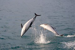 Playing Dusky Dolphins (Rolf Hicker Photography) Tags: world travel newzealand nature animals photography photos scenic dolphins southisland mammals kaikoura eastcoast naturephotography marinemammals travelphotography duskydolphins dolphinwatching rolfhicker lagenorhynchusobscurus kiwiana2006 encounterkaikoura hickerphotocom