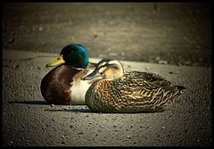 (andrewlee1967) Tags: uk england ducks andrewlee abigfave canon400d andrewlee1967 avianexcellence andylee1967 focusman5