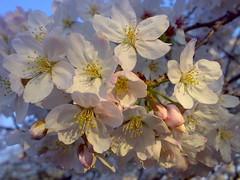 above the chaos there were flowers (joninnihon) Tags: flowers cherry blossom sakura hanami