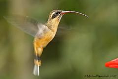 Tawny-bellied Hermit (Michael Woodruff) Tags: bird southamerica birds canon ecuador birding sa hermit 30d subtropics tandayapa tandayapavalley nwecuador tawnybelliedhermit tawnybellied phaethornissyrmatophorus