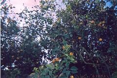 Oranger_Berkane_برتقال _ بركان