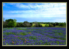 Texas Blues (Cybastean) Tags: blue trees sky clouds rural landscape spring texas wildflowers hdr bluebonnets rollinghills redflowers brenham indianpaintbrush texaswildflowers blueflowers naturesfinest impressedbeauty phillipsburgchurchroad
