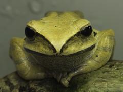 Asian tree frog (iPhotograph) Tags: animal geotagged zoo stuttgart frog d200 animalplanet wilhelma 70200mmf28gvr tc17eii specanimal asiantreefrog polypedatesleucomystax yellowtreefrog whitebeardedflyingfrog goldenflyingfrog asianflyingfrog goldenfoamnestfrog geo:lat=4880632745877526 geo:lon=9206251558406123