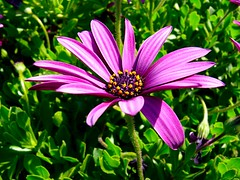 Cape Daisy (Osteospermum) in Eastbourne (sbuliani) Tags: flower macro nature closeup lumix eastbourne stefano naturesfinest outstandingshots flickrsbest colorphotoaward buliani sapessi stefanobuliani