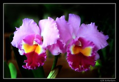 Huntington's Orchids
