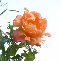 Dream Ruffles Rose And Sky Square Cropped (Chrisser) Tags: flowers roses summer ontario canada nature garden gardening fourseasons closeups rosaceae squarecropped dreamruffles olympuscamediac765 unature