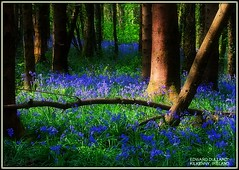 THE MAGICAL FOREST (Edward Dullard Photography. Kilkenny, Ireland.) Tags: wood flowers blue kilkenny ireland irish colour green heritage home nature beautiful bluebells forest bravo heaven peace superb erin irland eire gael magical emeraldisle hurling enchanted irlanda irlande failte ierland slainte carlow leinster naturesfinest eireann blackandamber beautifulireland findingireland colorphotoaward superaplus aplusphoto discoverireland edwarddullard treasuresofireland beautifulkilkenny cillchannaig thegoldendreams