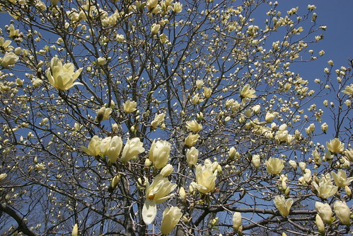 Yellow Magnolia from Flickr