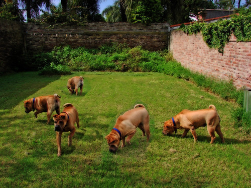 Five clones of the same dog in the backyard using the multiplicity effect