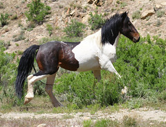 wild stallion story (csnyder103) Tags: wild horses colorado paint powerful focused regal stallion encounter loh specanimal animalencountersscroll