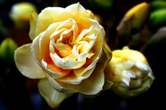 my friend's heart is as beautiful as the one of this daff...