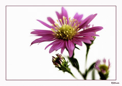 (Brenda-Starr) Tags: flowers flower macro canon flora bravo searchthebest flowerthemes canon350d daisy ef100mmf28 canonrebel onwhite soe excellence blueribbonwinner april2007 abigfave